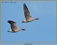 pink-footed-goose-51.jpg