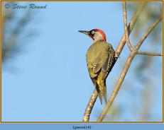 green-woodpecker-14.jpg