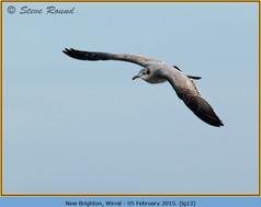 laughing-gull-13.jpg