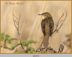 grasshopper-warbler-21.jpg