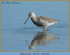 spotted-redshank-36.jpg