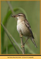 sedge-warbler-08.jpg