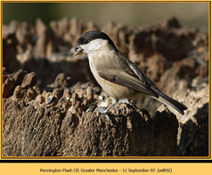 willow-tit-02.jpg