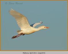 cattle-egret-53.jpg
