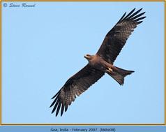 black-kite-08.jpg
