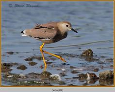 white-tailed-lapwing-07.jpg