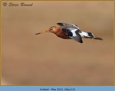 black-tailed-godwit-112.jpg