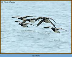 brent-goose-26.jpg