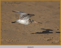 bar-tailed-godwit-14.jpg