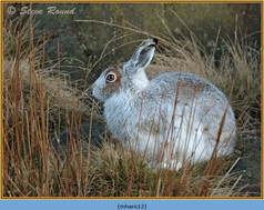 mountain-hare-12.jpg