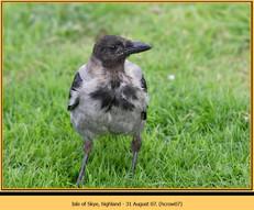 hooded-crow-07.jpg