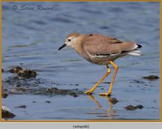 white-tailed-lapwing-08.jpg