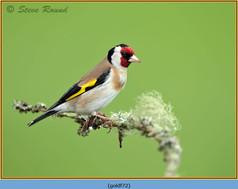 goldfinch-72.jpg