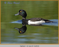 tufted-duck-19.jpg