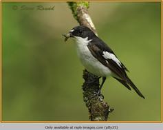 pied-flycatcher-35.jpg