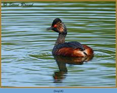 black-necked-grebe-18.jpg