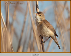 reed-warbler-10.jpg