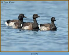 brent-goose-20.jpg