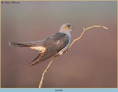 cuckoo-161.jpg