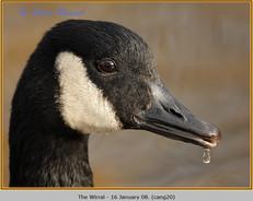 canada-goose-20.jpg