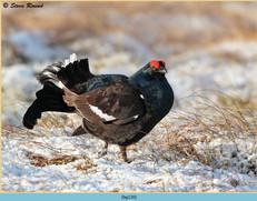black-grouse-120.jpg