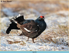 black-grouse-120.jpg