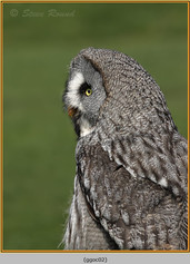 great-grey-owl-02.jpg