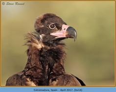 black-vulture-14.jpg