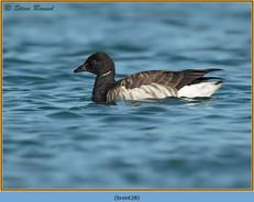 brent-goose-28.jpg
