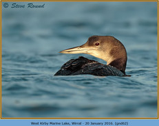 great-northern-diver-62.jpg