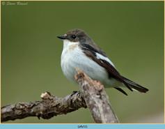 pied-flycatcher-53.jpg