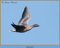 pink-footed-goose-87.jpg