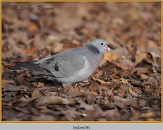 stock-dove-28.jpg