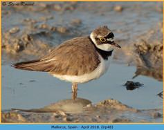 little-ringed-plover-48.jpg