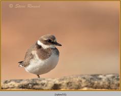 ringed-plover-55.jpg