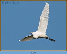 little-egret-89.jpg