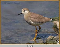white-tailed-lapwing-05.jpg