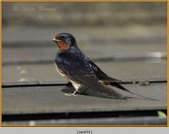 swallow-34.jpg