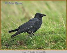 carrion-crow-08.jpg