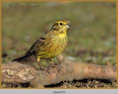 yellowhammer-37.jpg