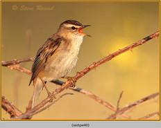 sedge-warbler-40.jpg