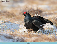 black-grouse-114.jpg