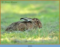 brown-hare-92.jpg