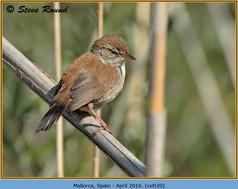 cettis-warbler-20.jpg