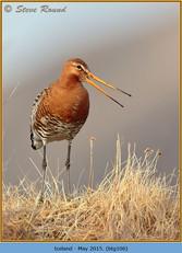 black-tailed-godwit-106.jpg