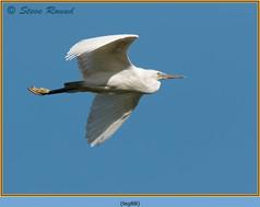 little-egret-88.jpg