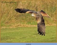 red-kite-56.jpg