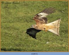 red-kite-71.jpg