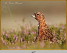 red-grouse-137.jpg