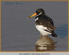 oystercatcher-41.jpg